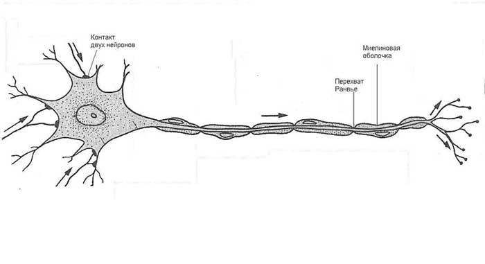 Рисунок нейрон взрослого человека